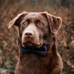 Hundefliege dunkelblau