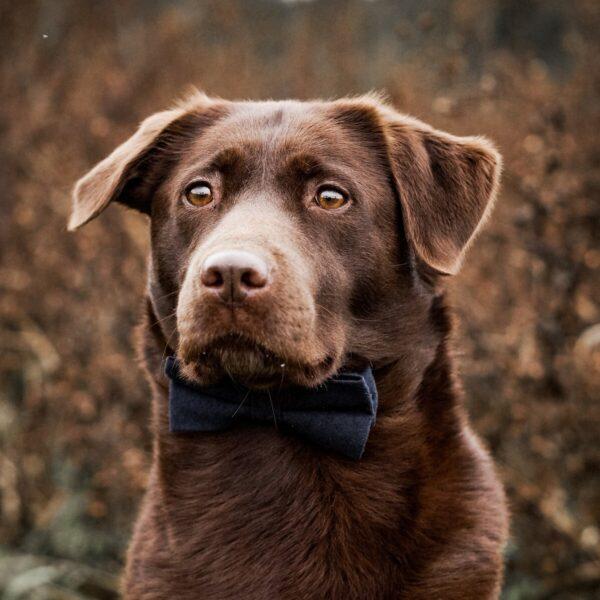 Hundefliege in dunkelblau