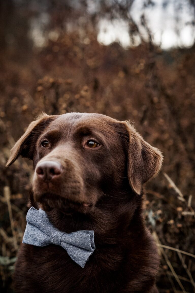 Labrador Hundefliege in Blau
