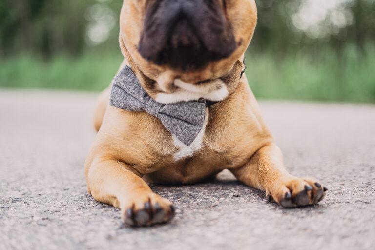 graue Hundefliege